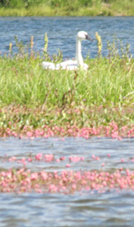 swan and ladies thumb knotweed: swan on a lake with pink wildfowers floating on the water in foreground
