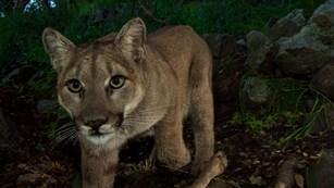 NPS photo mountain lion