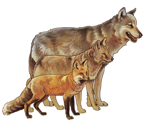 National Park Service drawing of a fox ( front) coyote ( center) and wolf ( back), by Michael Warner from a Yellowstone Park webpage