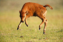 rambunctious buffalo calf by Ron Niebrugge: a buffalo calf frolics, photo used with permission from the photographer Ron Niebrugge