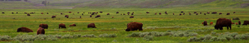 350 x 61 bison from public domain: