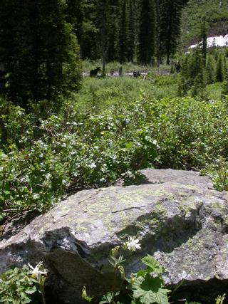 Cascade Canyon Moose and Columbine: