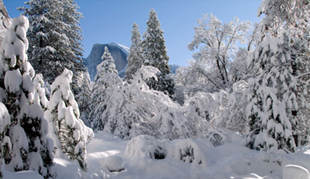 NPS photo Dec262008snowYosemiteHalfdome 179 pixels: trees thickly laden with snow in foreground Half Dome behind and clear skies
