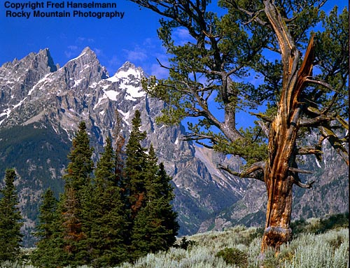 Fred Hanselmann photo Patriarch Tree and Tetons.: