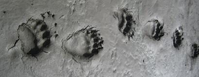 NPS photo Griz bear_tracks_in_mud: mud with bear footprints