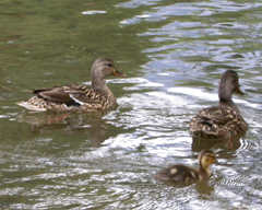 Merced River duck family: