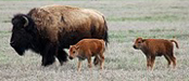 NPS 75 pixels 2 newborn bison: grassy plain with adult and two baby bison
