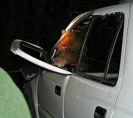 NPS photo by Tammy Evans bear exiting a SUV: bear exiting a SUV, the door was bent open by the bear