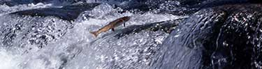 NPS photo cutthroat trout leaping: cutthroat trout leaping out of the water in a fast moving current