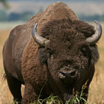 NPS photo of a bison by Dan Ng: bison looking towards the photographer