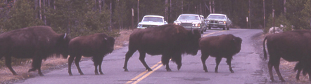 NPS photo of bison crossing road: