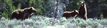 NPS photo three griz: