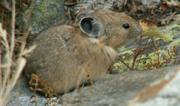 Pika nibbling Grand Teton park 2006: