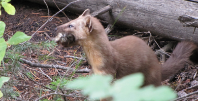 Pine Martin with his breakfast: Pine Martin with his breakfast in his mouth