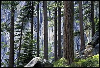 QT Luong lodgepole pines and cliff yose falls trail: