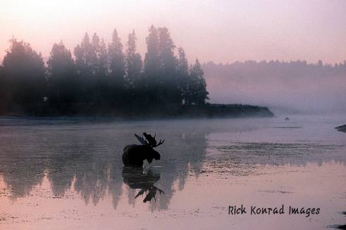 Rick Konrad Images bull moose reflection: Rick Konrad Images bull moose reflection in river Grand Teton park