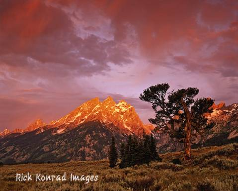 Rick Konrad photo Old Patriarch tree: Rick Konrad photo Tetons at sunset in background and Old Patriarch tree in foreground