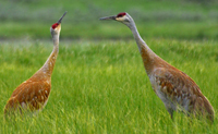 Sandhill cranes from public domain 200 pixels: