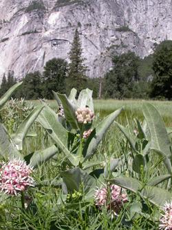Showy Milkweed: