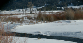 Soda Butte Creek with coyote walking creekside winter: