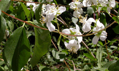 Syringa or mock orange: