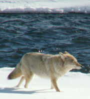 Yellowstone coyote at Soda Butte creek winter: