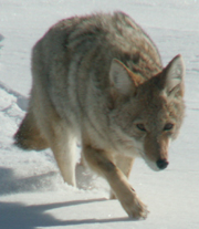 Yellowstone coyote winter 2007: