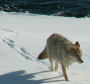 Yellowstone winter 2007 coyote walking in snow: