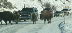 Yellowstone winter bison jam: