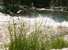 asters at water's edge by world's greatest swimming hole: