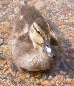 baby duck June 2004:
