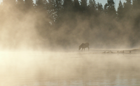 juvenile moose at a distance in the mist: