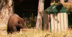 bear at Colter bay cabins looks into box at trash area: