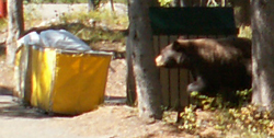 bear investigates trash area Colter Bay cabins: