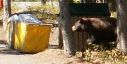 bear investigates trash area Colter Bay cabins: