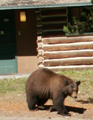bearoutsidecabinatColterbay120 pixels: black bear standing outside of a cabin