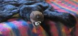 bear rug on bed in cabin: bear rug with big teeth showing