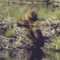 beaver climbing up dam: