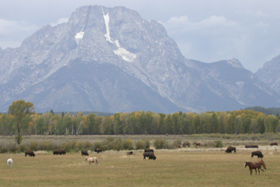bison and horses grazing: