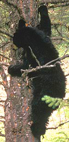 black bear climbing tree nps photo: black bear climbing tree, one arm reaching up to a branch