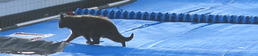 cat exiting pool cover by Ken Mignosa 80 pixels: