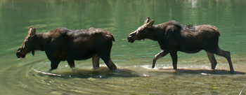 cow calf moose cascade canyon 2007: