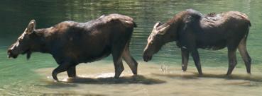 cow calf moose cascade canyon, tetons 2007: