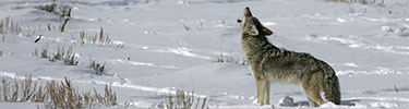 coyote howling NPS photo: a coyote stands in the snow with his head and neck raised