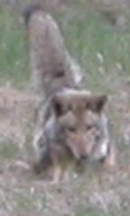 coyote pouncing: