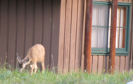 deer outside cabin: deer grazing outside a wood cabin