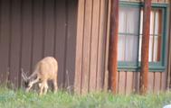 deer outside cabin: deer grazing outside a wood cabin