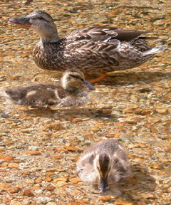 duck and babies June 2004: