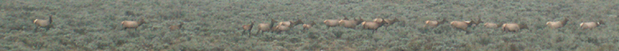 early morning part of huge elk herd 2007: