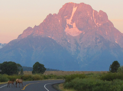 elk crossing road at sunrise 2011: two elk crossing road with Mount Moran in the background
